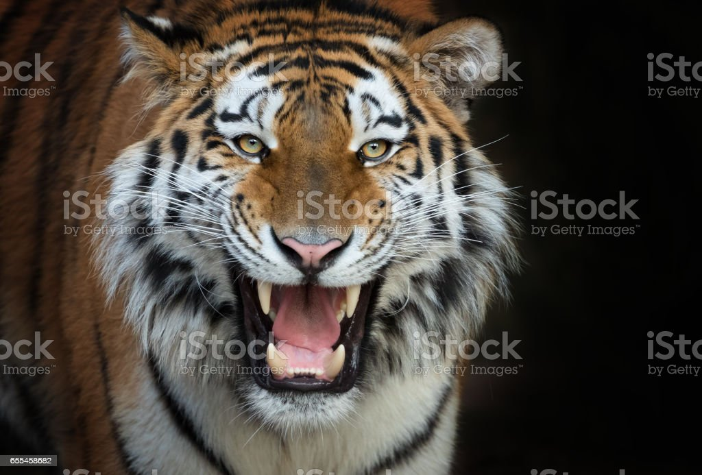 Brüllender Tiger stock photo