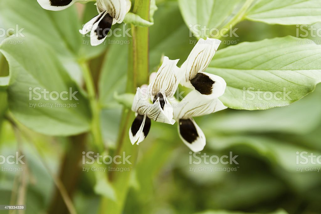 broad bean blooming stock photo