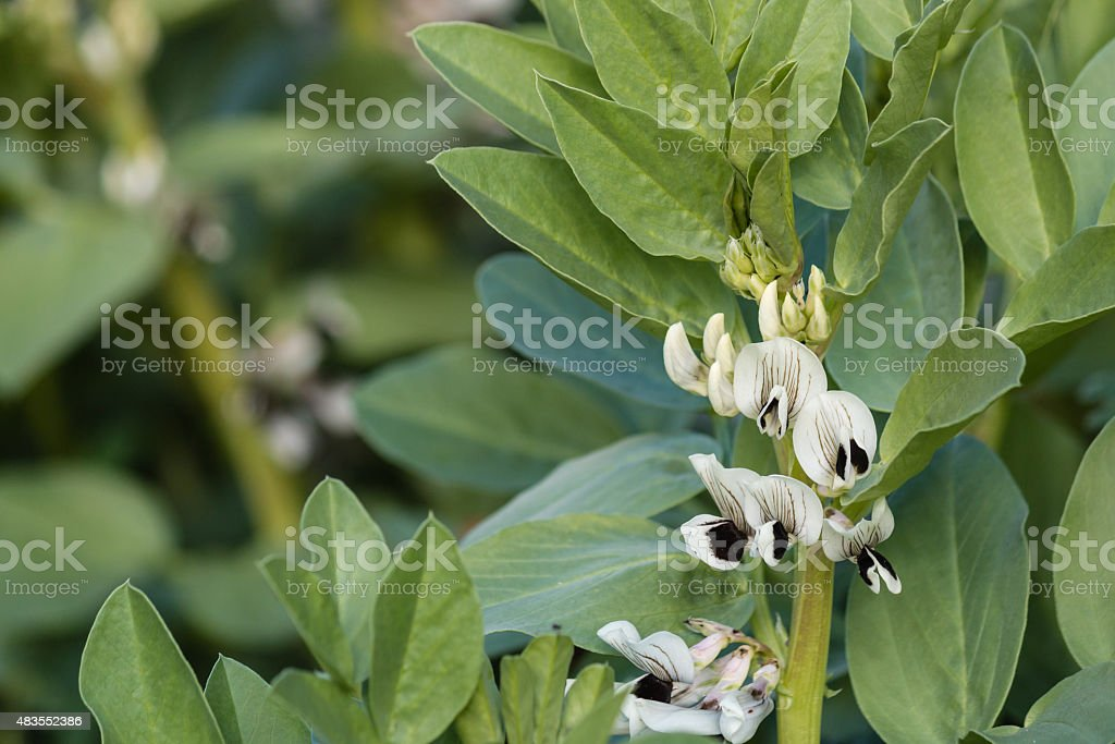 broad bean flowers and leaves stock photo