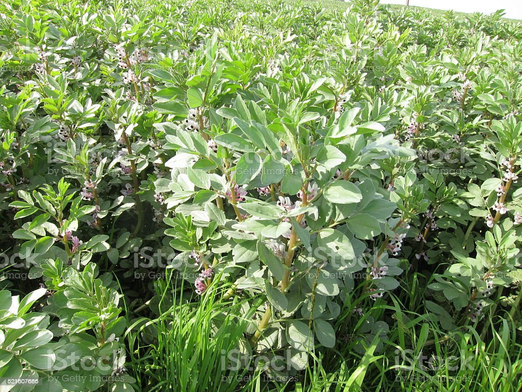 Broad bean plantin field stock photo