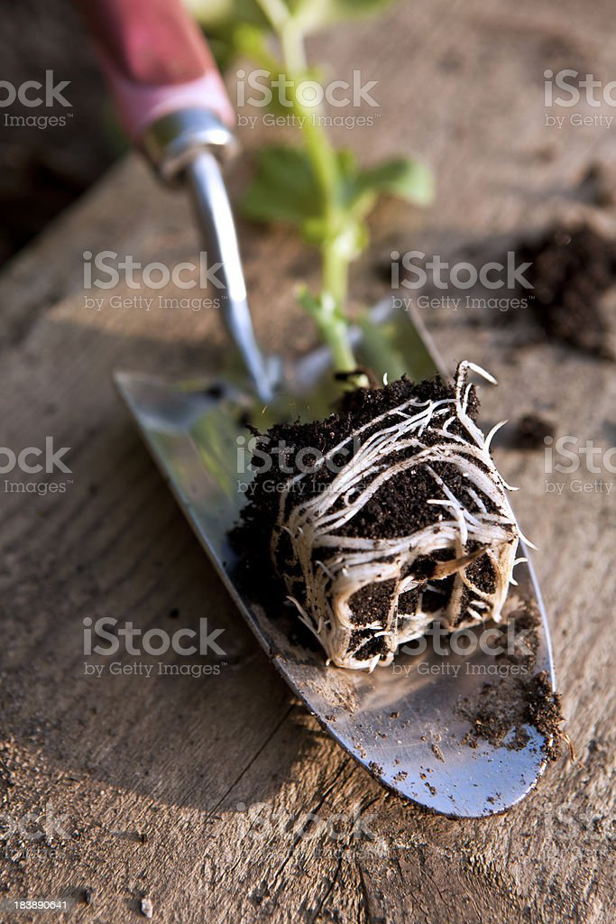 Broad Bean Shoot Roots stock photo