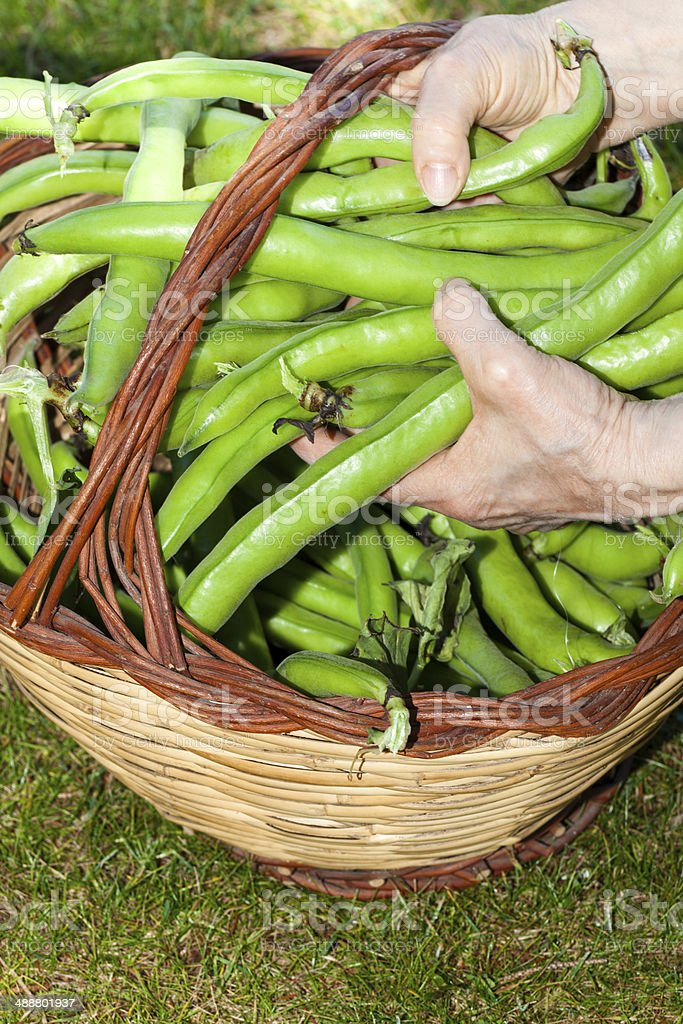 Broad Beans Basket royalty-free stock photo