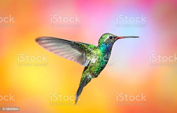 Broad billed hummingbird picture id515830944?b=1&k=6&m=515830944&s=612x612&h=etywpas2zqmrdqiwcxj30yj eyuw2xfaclvlvlpue e=