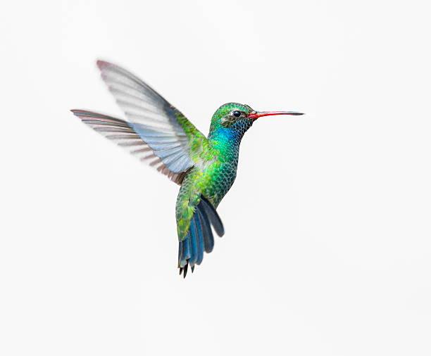 broad billed hummingbird. - kolibri bildbanksfoton och bilder