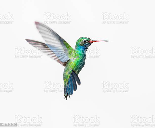 Broad Billed Hummingbird. These birds are native to Mexico and brighten up most gardens where flowers bloom.