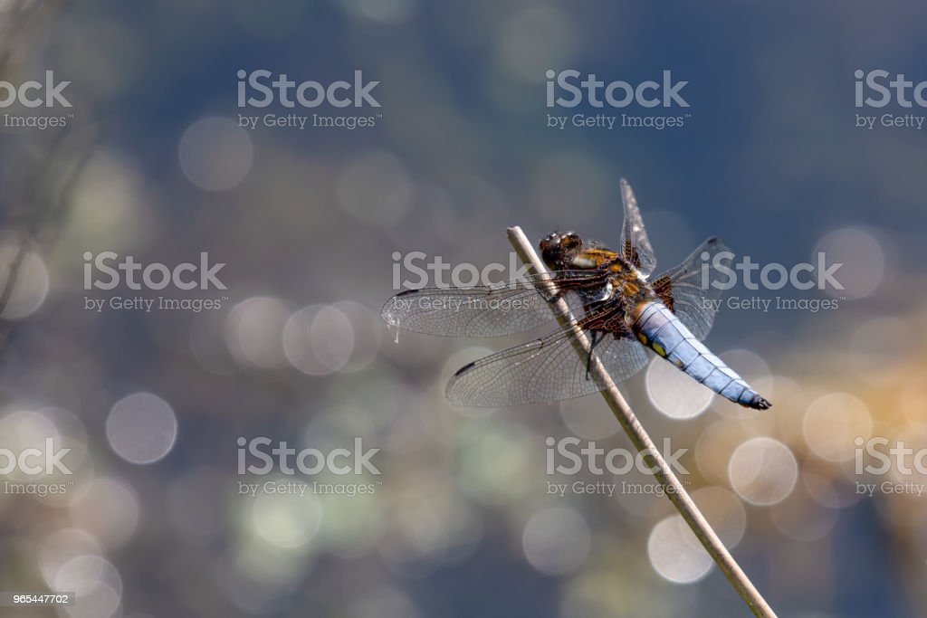 Broad Bodied Chaser (libellula depressa) Dragonfly on perch with beautiful bokeh background zbiór zdjęć royalty-free