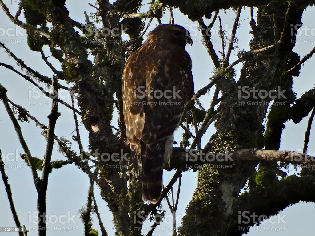 Broad Winged Hawk Stealth stock photo