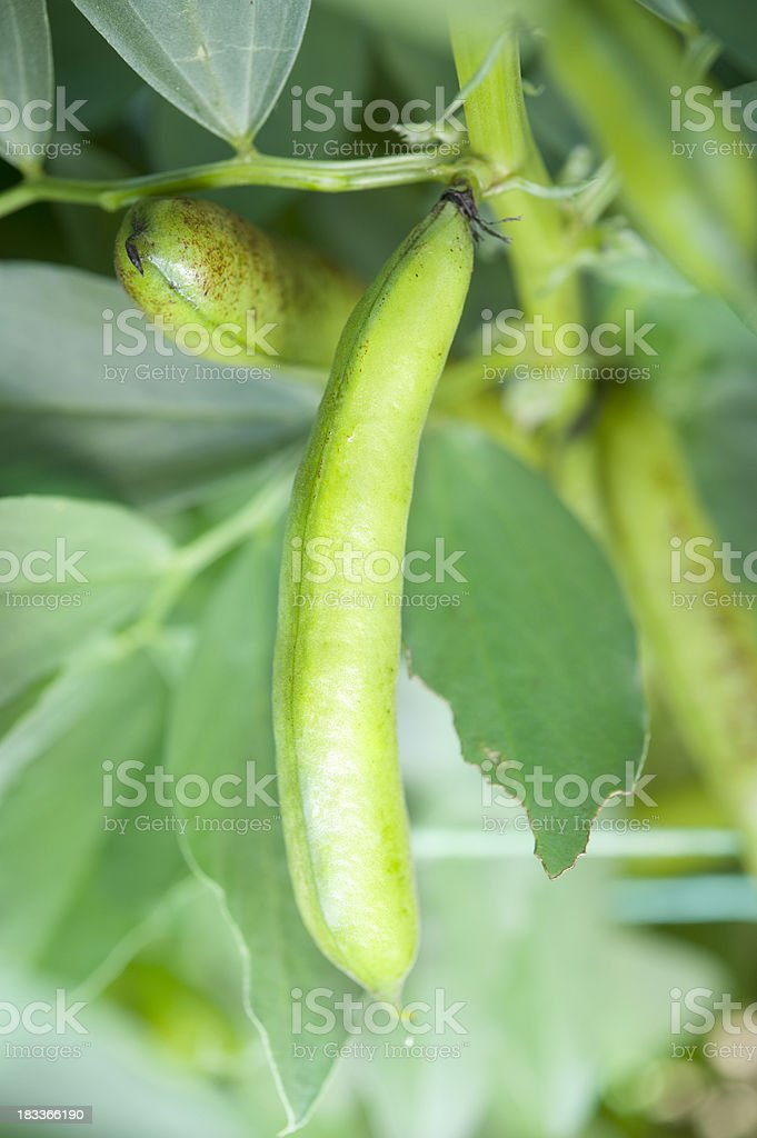 Broadbeans Growing Outdoors royalty-free stock photo