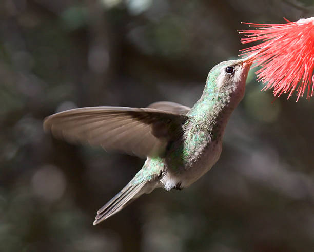 Broadbilled Refueling in Flight  pima county stock pictures, royalty-free photos & images