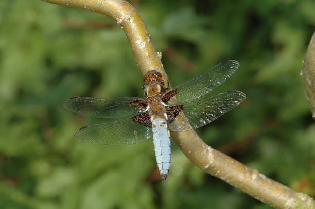 Broad-bodied chaser stock photo