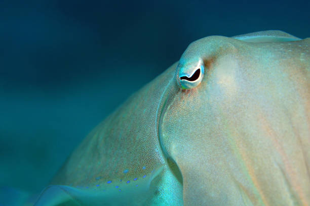 Broadclub Cuttlefish stock photo