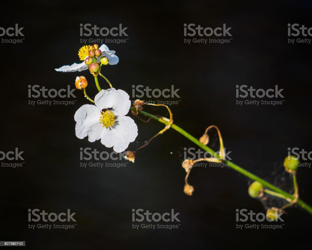 Ponta de seta broadleaf (Sagittaria latifolia) - foto de acervo