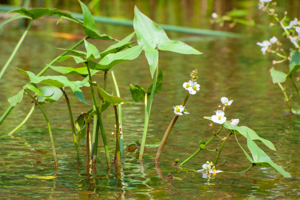 broadleaf arrowhead, Sagittaria latifolia stock photo