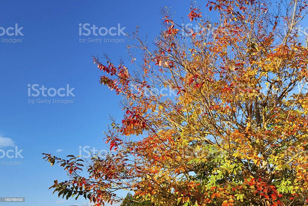 broad-leaved tree in autumn stock photo
