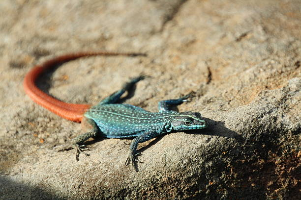 Broadley's Flat Lizard stock photo