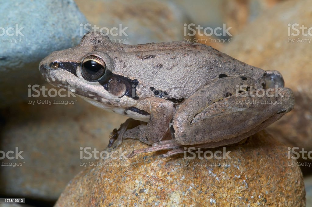 Breit-Wortspielereien-Rakete Frosch – Foto