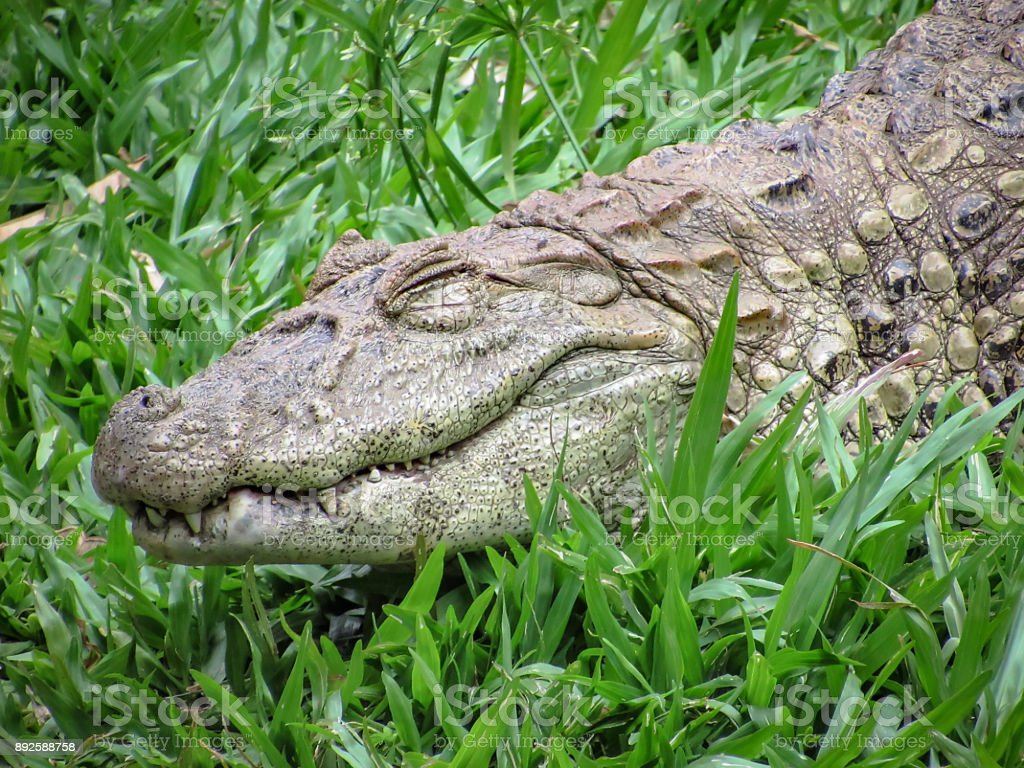 Broad-Snouted Caiman (Caiman latirostris) Lurking on a Grassy Area stock photo