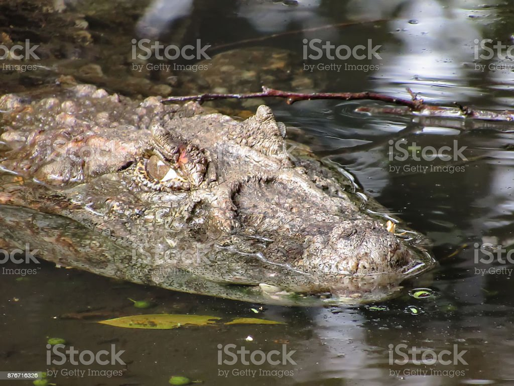 Broad-Snouted Caiman (Caiman latirostris) Lurking on Swampy Waters stock photo