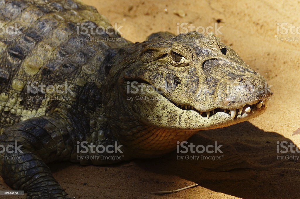 Broad-snouted Caiman. stock photo