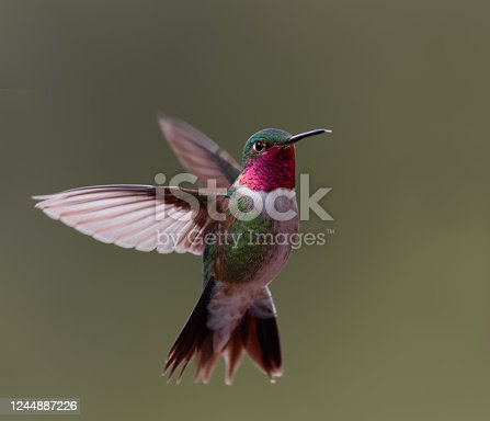 When hovering, broad-tailed hummingbirds move their wings at 50 wing beats per second.