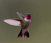 istock A broad-tailed hummingbird hovers in midair in Colorado 1244887226
