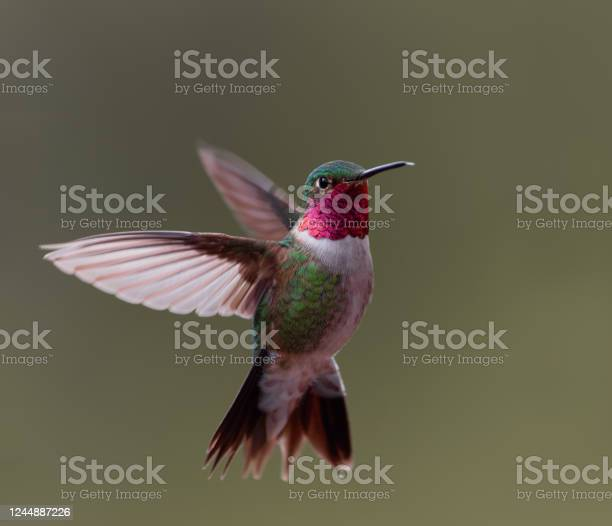 Photo of A broad-tailed hummingbird hovers in midair in Colorado