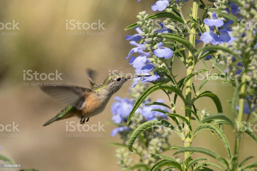 Broad-tailed hummingbird penstemon flower Rocky Mountain Arsenal National Wildlife Refuge Colorado stock photo