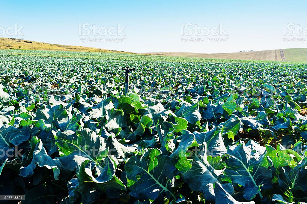 Broccoli as far as the eye can see on  farm stock photo