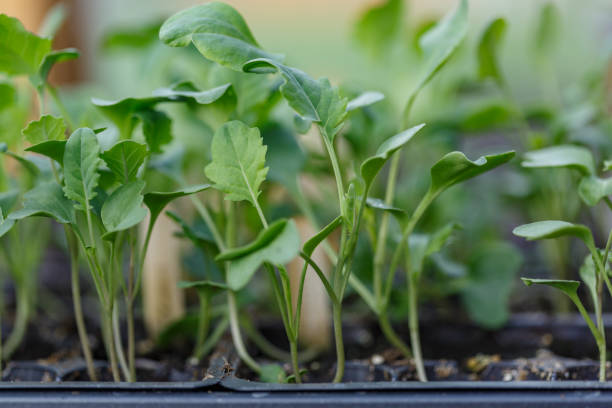 Broccoli - Brassica Vegetable Starts, indoors, planted seeds sprouting cotyledons, , leaves close up stock photo
