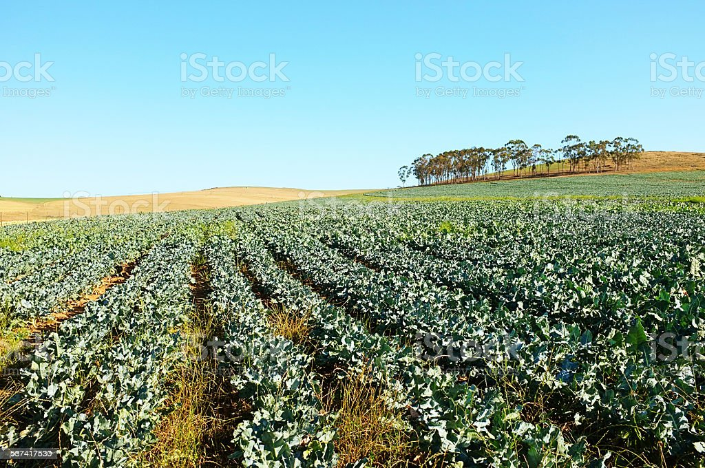 Broccoli, field, growing, farm, vegetable, healthy, food, vista, agriculture, stock photo