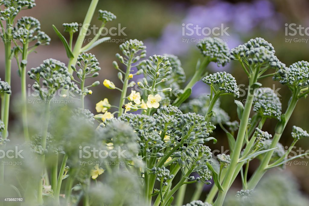 Broccoli flowers stock photo