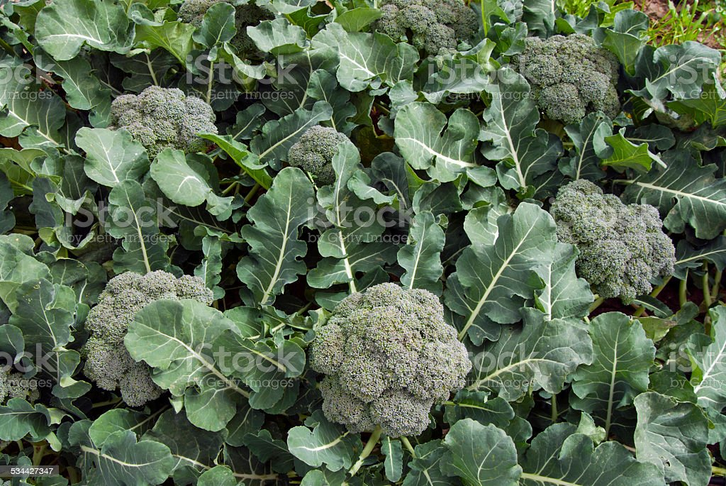 Broccoli patch stock photo