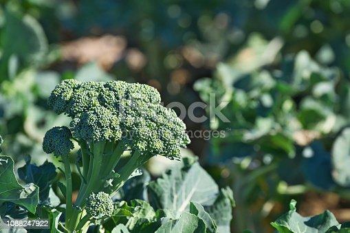 broccoli ブロッコリー