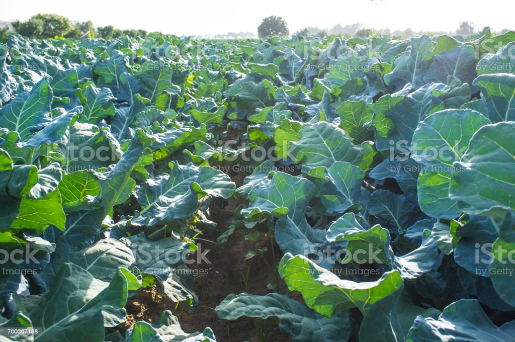 Broccoli plants from inside furrow stock photo