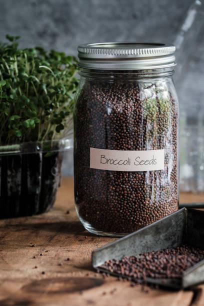 Broccoli Seeds for Growing Microgreens stock photo