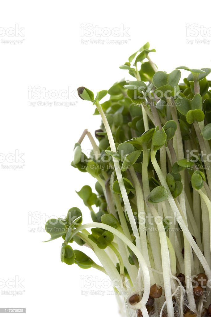 broccoli sprouts growing stock photo