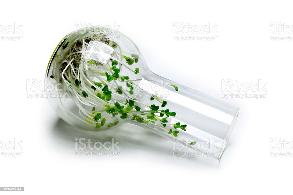 Broccoli sprouts in a glass flask stock photo
