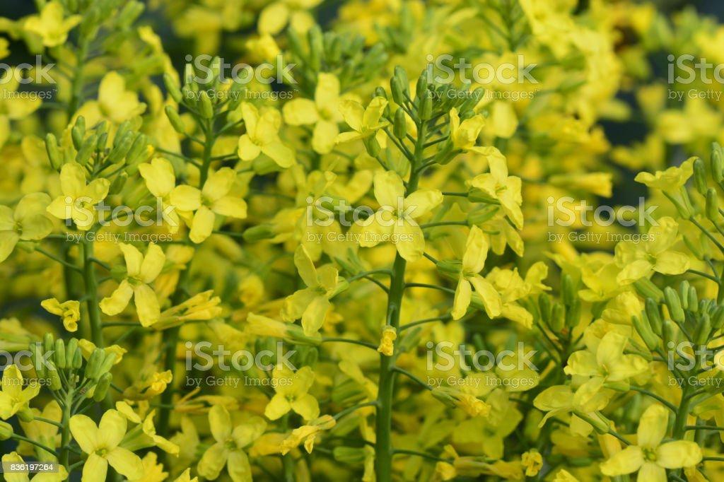 Broccoli yellow flowers stock photo