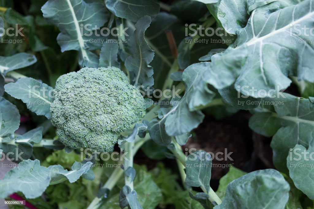 brocoli plant in field. broccoli growing in vegetable garden. stock photo