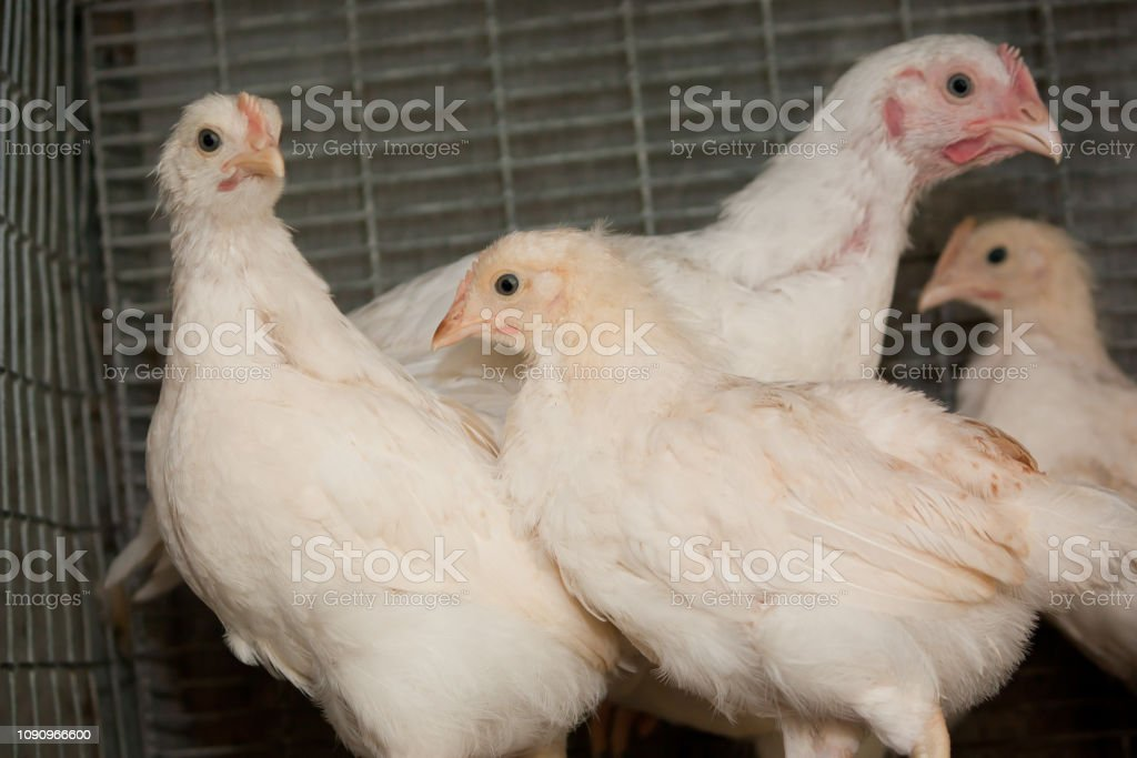 Broiler chickens in a cage stock photo
