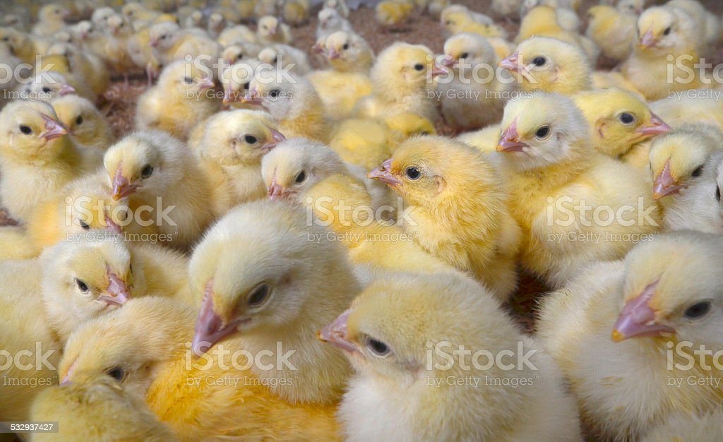Broiler Chicks on Chicken Farm stock photo