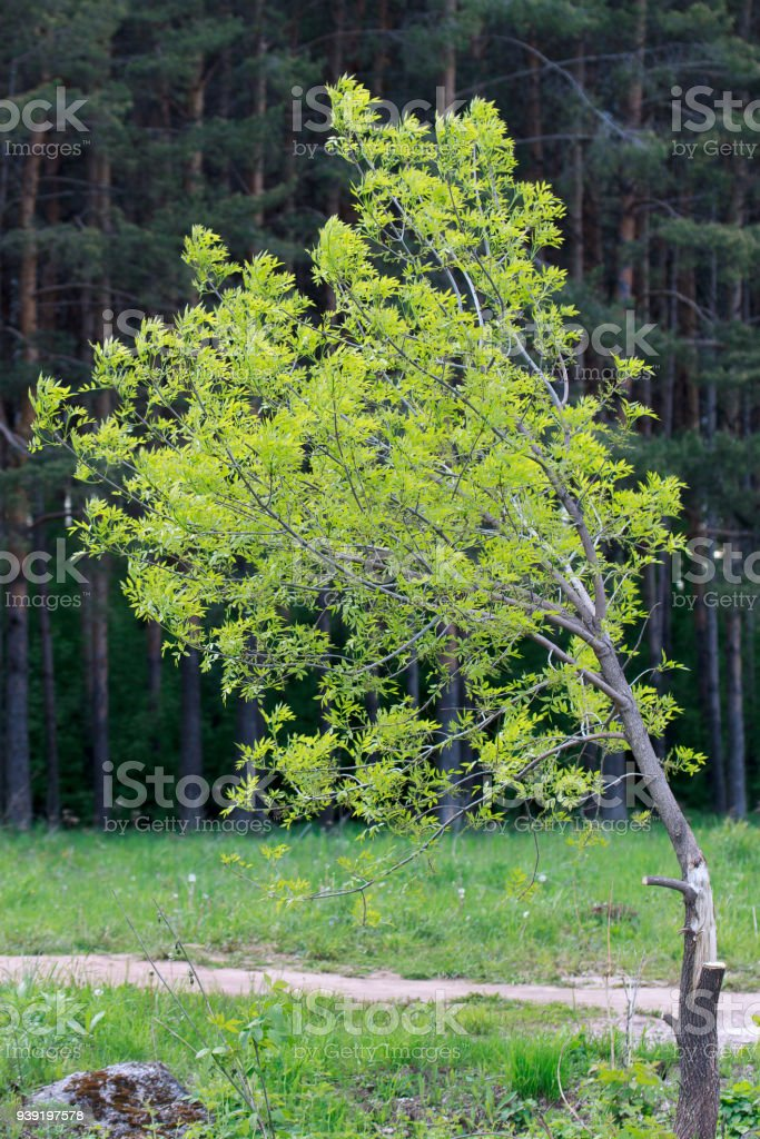 Broken alone tree is growing near a pine grove. stock photo