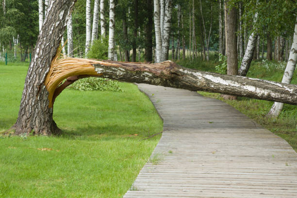 Broken birch tree on the wooden trail in the park after storm. Broken birch tree on the wooden trail in the park after storm. fallen tree stock pictures, royalty-free photos & images