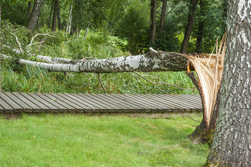 Broken birch tree on the wooden trail in the park after storm.