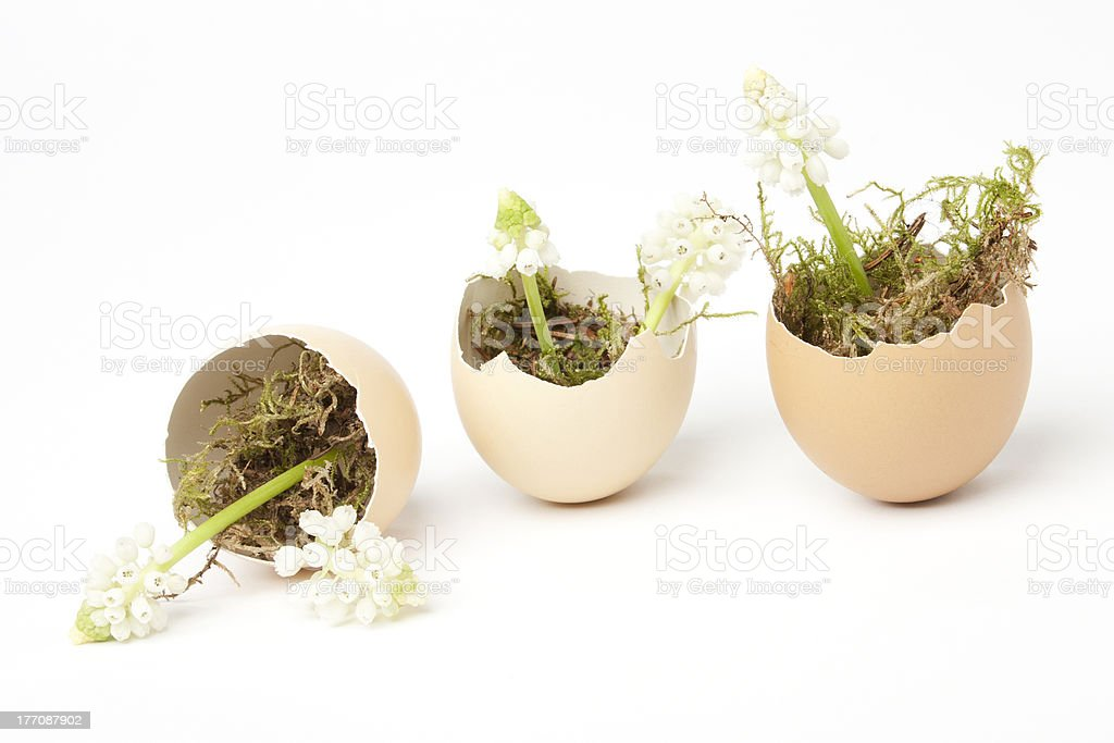 Broken eggs filled with muscari stock photo