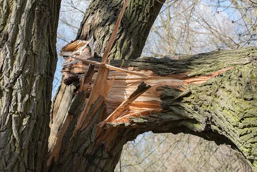 broken fallen old poplar tree