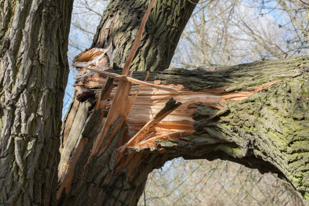 broken fallen old poplar tree broken fallen trunk old poplar tree fallen tree stock pictures, royalty-free photos & images