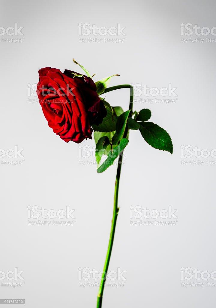 Broken Flowers stock photo