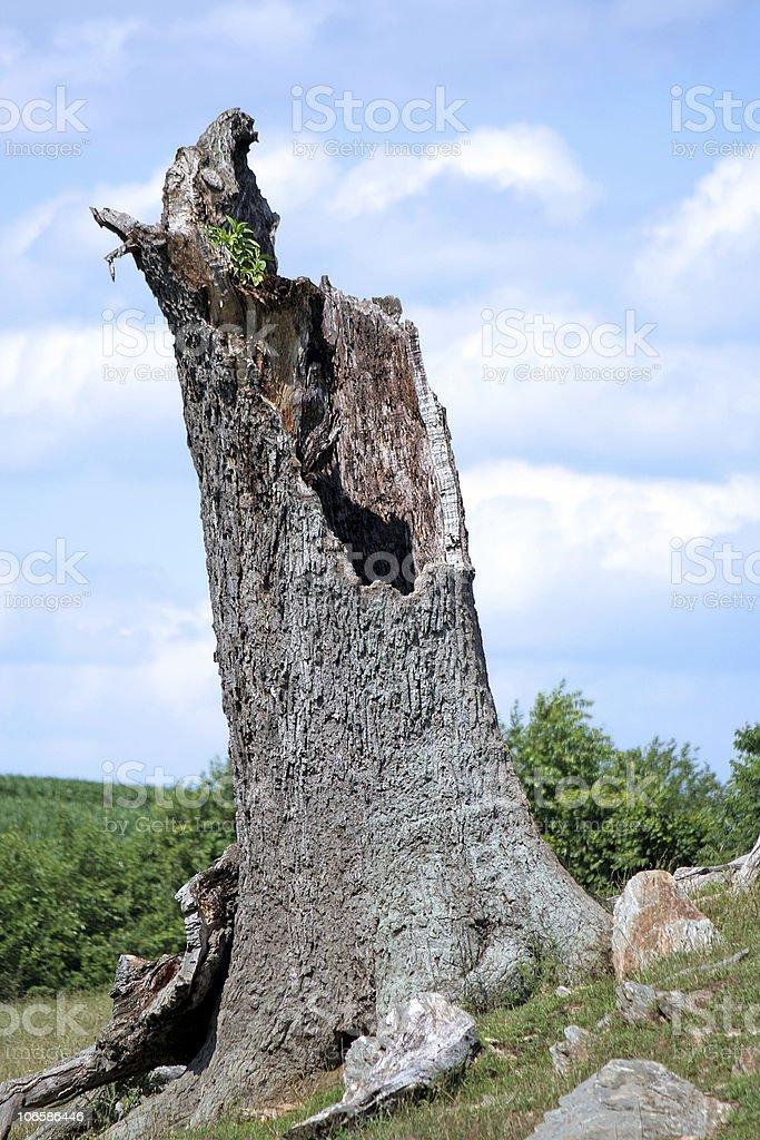 Broken, Hollow Tree Stump royalty-free stock photo