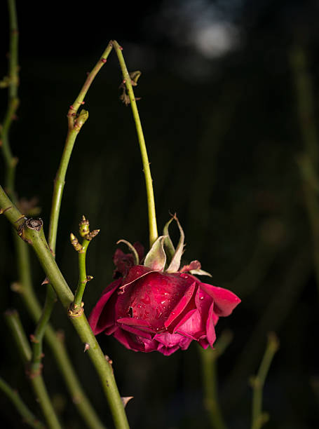 Broken red rose stock photo